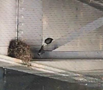 Nesting Birds_Hermosa Creek Bridge_05.06.2020.jpg