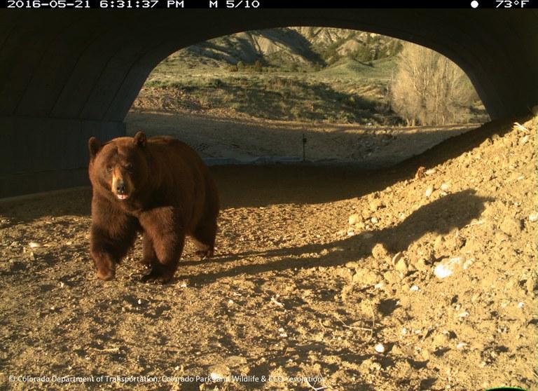 Black Bear in SH 9 Underpass