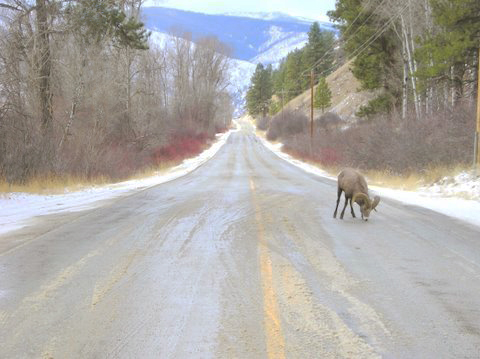 Bighorn on Highway