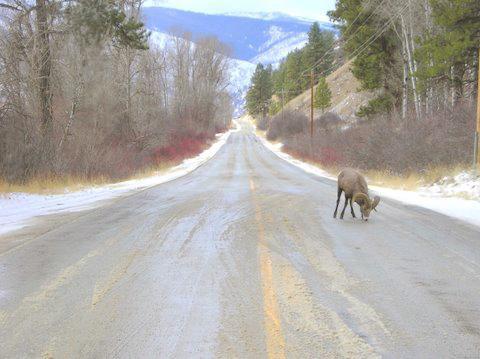 Bighorn on Highway
