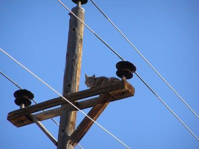 Bobcat perched near CDOT Durango office