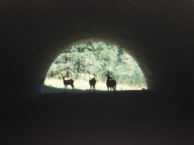 Deer using US 285 wildlife underpass