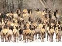 Elk in La Plata County