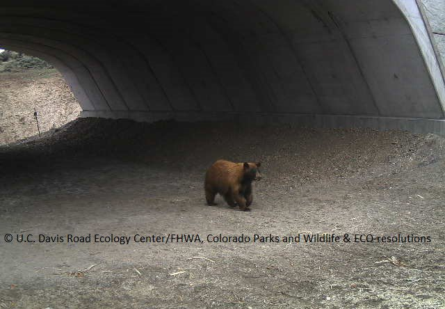 Black Bear Accessing Underpass 2016