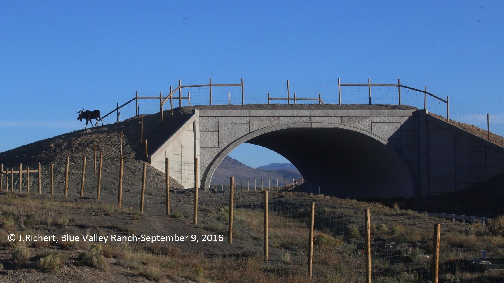 Moose Using Overpass Sept 9 2016