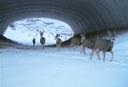 Herd of deer crossing the highway using an underpass structure