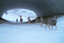 Photo courtesy of Colorado Dept. of Transportation, Colorado Parks and Wildlife & ECO-resolutions thumbnail image