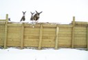 Deer jump over the fencing ramps to safely migrate to open land
