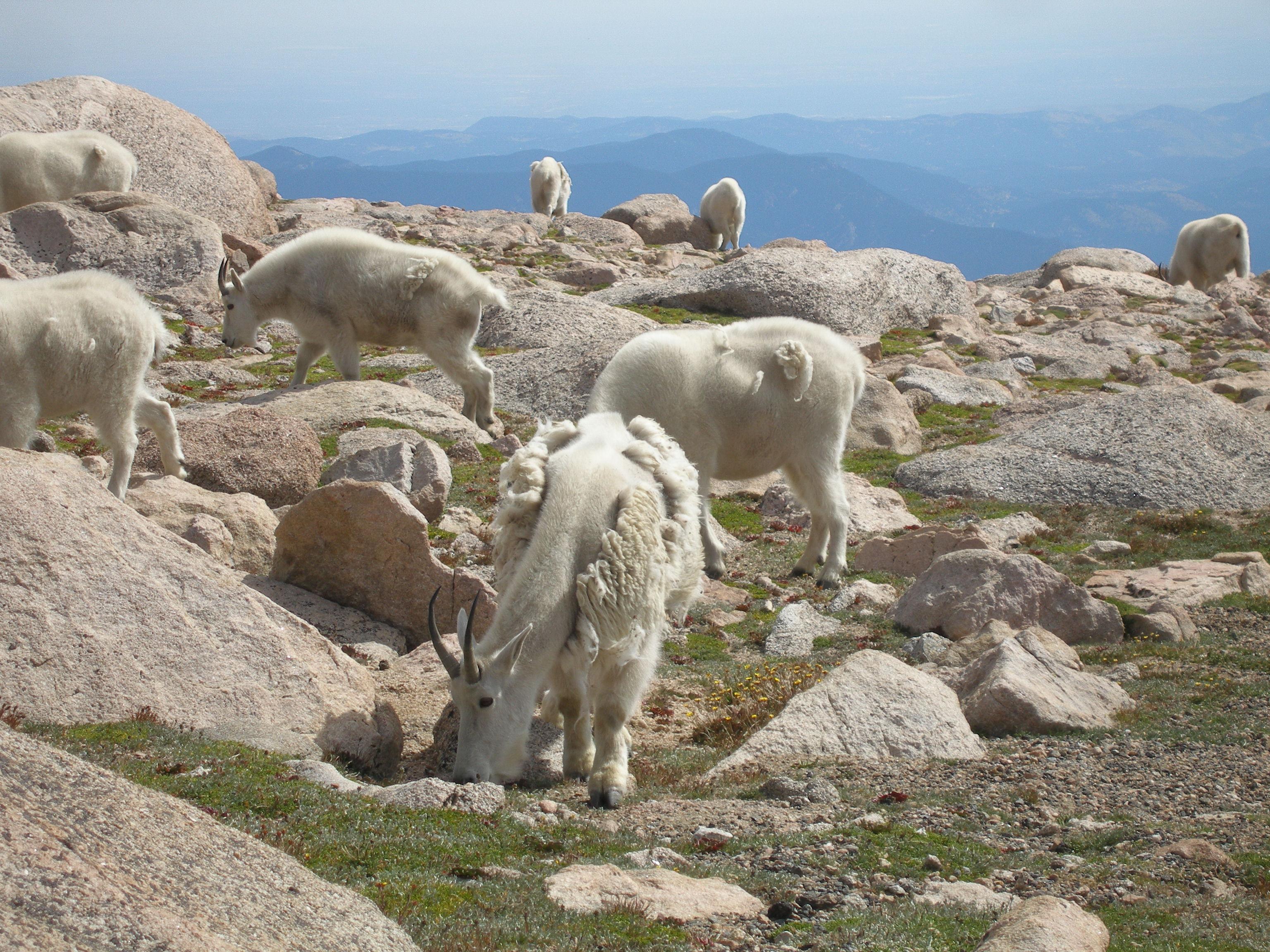 Mountain Goats detail image