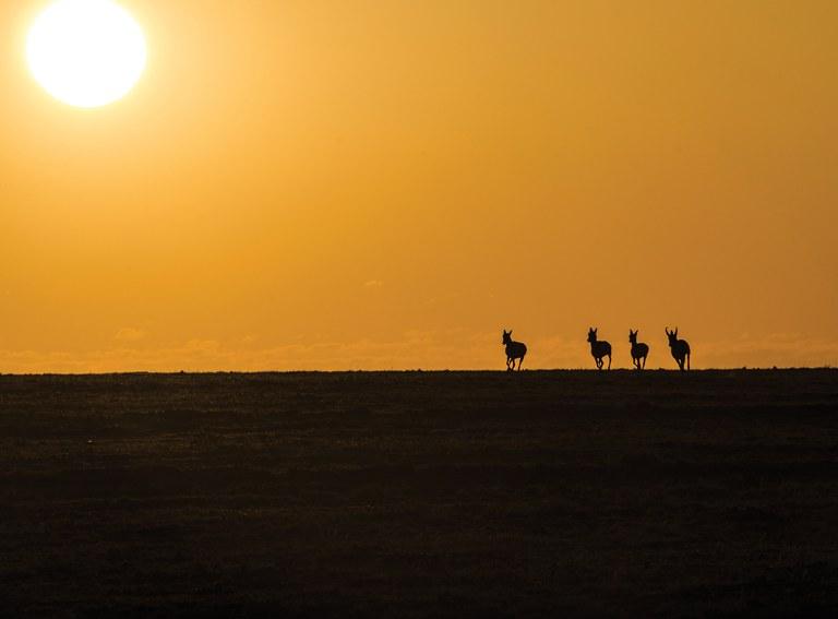 Antelope at Sunset