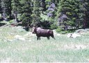 Wildlife is abundant around the Eisenhower Tunnel.  Typical high country visitors include moose, elk, deer, goats, sheep, marmot, chipmunks, and porcupine. thumbnail image